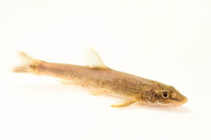 Photo: Longnose dace (Rhinichthys cataractae) at the Albuquerque BioPark Aquarium.
