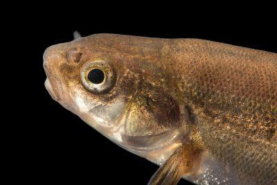 Photo: Gila longfin dace, Agosia chrysogaster chrysogaster, at the Aquatic Research and Conservation Center.