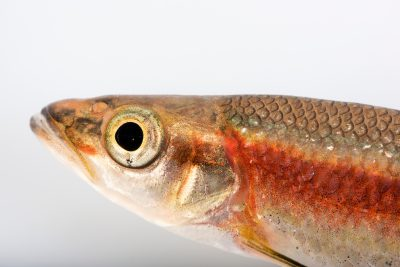 Photo: Rosyside dace (Clinostomus funduloides) at Conservation Fisheries.