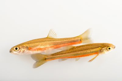 Photo: Northern redbelly dace (Chrosomus eos) at the University Lab at the University of Minnesota in St. Paul.
