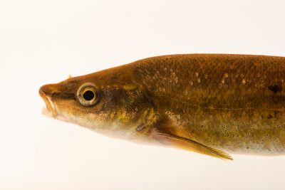 Photo: Eastern blacknose dace (Rhinichthys obtusus) at East Bay Regional Park District.