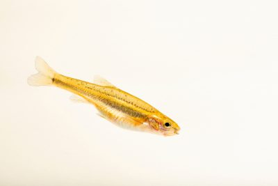 Photo: Southern redbelly dace (Chrosomus erythrogaster) at the Milford Nature Center.