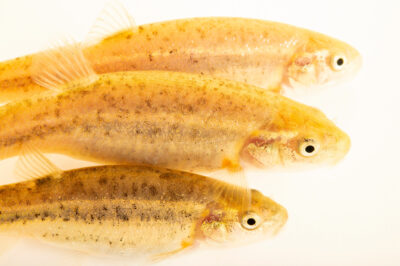 Photo: Amargosa speckled dace (Rhinichthys osculus nevadensis) collected on the Amargosa River in Tecopa, California.