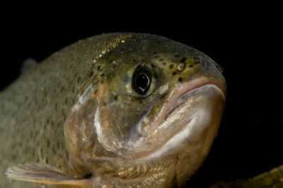 Federally threatened rainbow trout (Oncorhynchus mykiss) at the Genoa National Fish Hatchery.