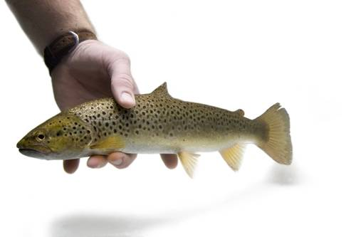Photo: A brown trout (Salmo trutta morpha), wild caught on the Clark Fork River near Noxon, Montana.