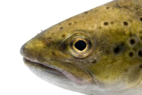 Photo: A brown trout (Salmo trutta morpha), wild caught on the Clark Fork River near Noxon, Montana.