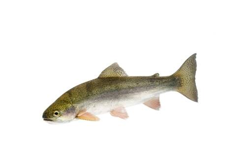 A wild-caught, federally threatened rainbow trout (Oncorhynchus mykiss) from the Clark Fork River near Noxon, Montana.