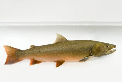 A bull trout (Salvelinus confluentus) from Bighorn Creek, part of the Kootenay River system. (IUCN: Vulnerable; US: Federally threatened)
