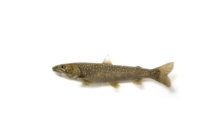 A juvenile bull trout (Salvelinus confluentus) from Bighorn Creek, part of the Kootenay River system. (IUCN: Vulnerable; US: Federally threatened)