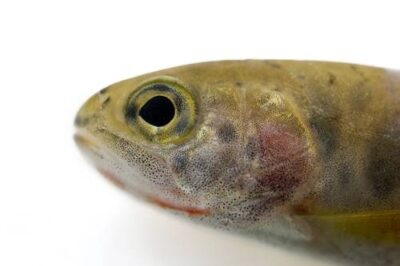 A juvenile westslope cutthroat trout (Oncorhynchus clarki lewisi). The species was denied listing under the ESA in 2003.