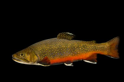 A Northern Appalachian brook trout (Salvelinus fontinalis) at the Tennessee Aquarium.