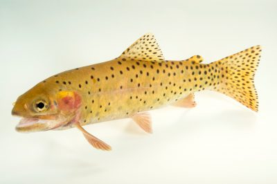 Picture of a Cutthroat trout (Oncorhynchus clarkii) at the Loveland Living Planet Aquarium.