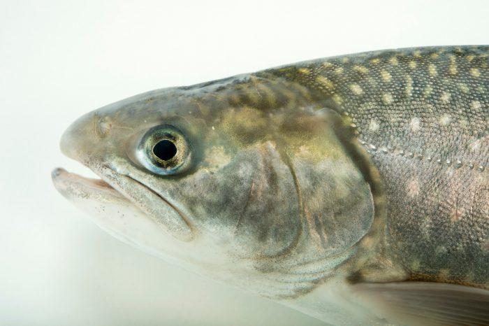 Photo: Dolly Varden trout (Salvelinus malma) at the Alaska SeaLife Center in Seward, AK.