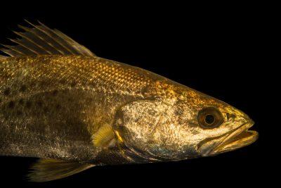 Photo: Speckled sea trout (Cynoscion nebulosus) at Gulf Specimen Marine Lab and Aquarium.