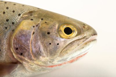 Photo: A female Rio Grande cutthroat trout (Oncorhynchus clarki virginalis) at Seven Springs Fish Hatchery.