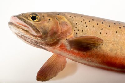 Photo: A male Rio Grande cutthroat trout (Oncorhynchus clarki virginalis) at Seven Springs Fish Hatchery.