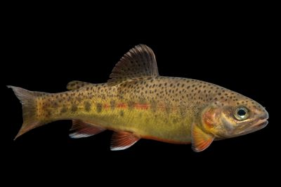 Photo: An endangered South Diamond Gila trout (Oncorhynchus gilae gilae) at Mora National Fish Hatchery.