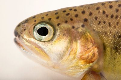 Photo: South Diamond Gila trout (Oncorhynchus gilae gilae) at Mora National Fish Hatchery.