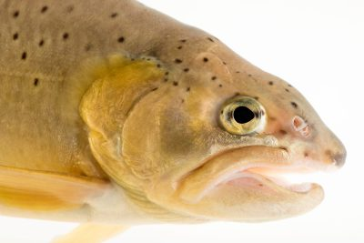 Critically endangered (IUCN) Apache trout (Oncorhynchus apache) at the Arizona- Sonora Desert Museum in Tucson, AZ.