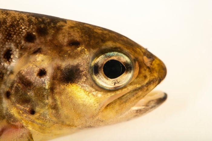 Photo: Brown trout (Salmo trutta fario) at the Environmental Education Center of the Ribeiras de Gaia.
