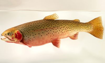 Photo: Greenback cutthroat trout (Oncorhynchus clarki stomais) photographed at Downtown Aquarium in Denver, Colorado.