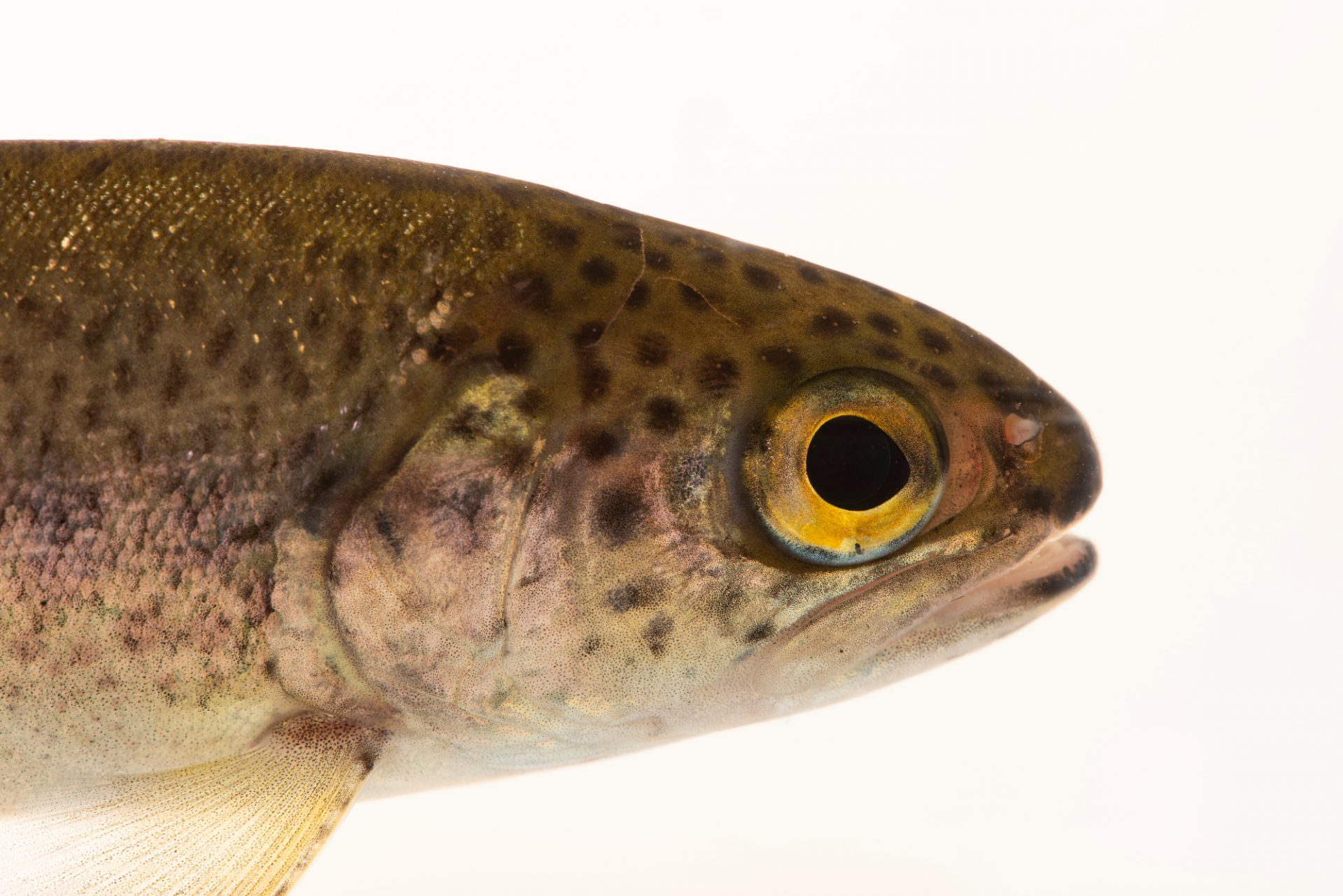 Photo: Rainbow trout (Oncorhynchus mykiss) at East Bay Regional Park District.