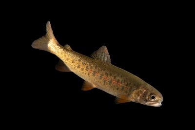 Photo: Snake River fine-spotted cutthroat trout (Oncorhynchus clarkii behnke) at the MK Nature Center in Boise, Idaho.