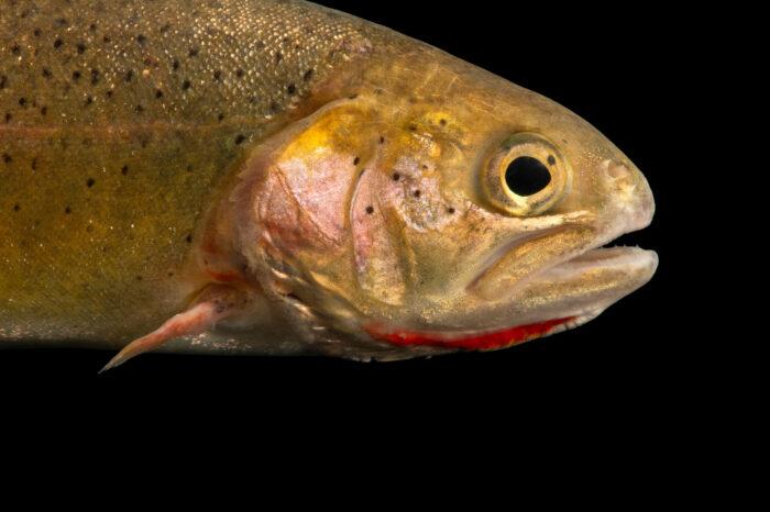 Photo: A Snake River cutthroat trout (Oncorhynchus clarkii behnkeli) at the Schramm Education Center near Gretna, NE.