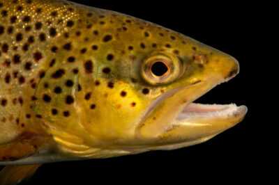 Photo: A brown trout (Salmo trutta) at the Schramm Education Center near Gretna, NE.