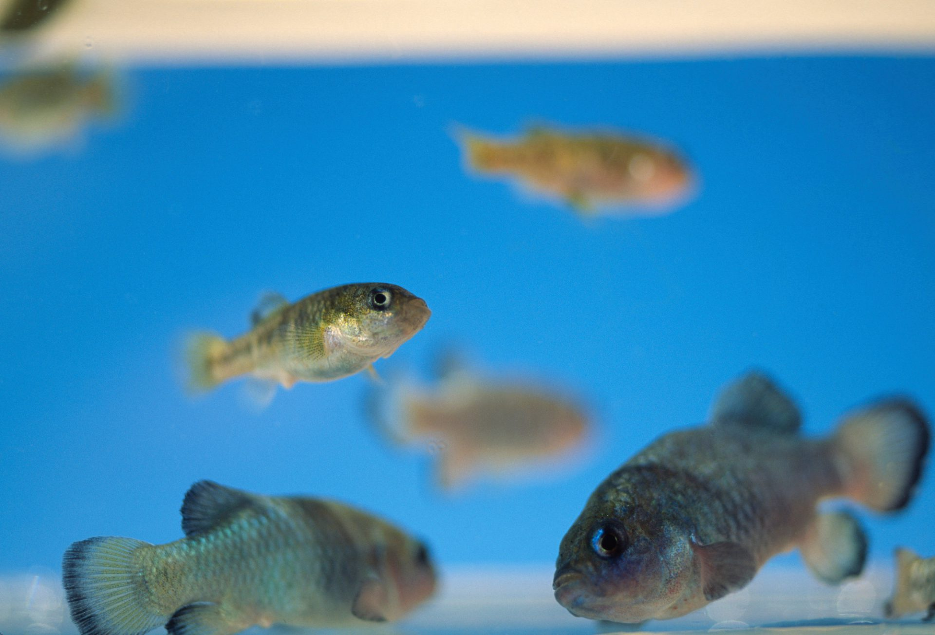 Photo: The endangered Devil's Hole pupfish, captive at Ash MeadowsNWR.