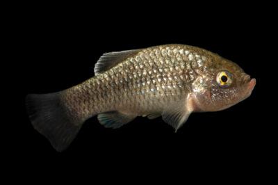 Photo: A La Palma pupfish (Cyprinodon longidorsalis) at Aquarium Berlin.