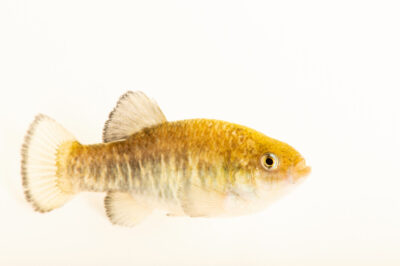 Photo: A shoshone pupfish (Cyprinodon nevadensis shoshone) collected in Shoshone, California.