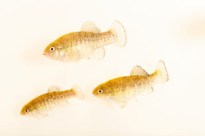 Photo: Shoshone pupfish (Cyprinodon nevadensis shoshone) collected in Shoshone, California.