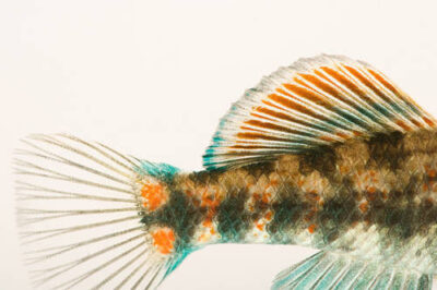 A buffalo darter (Etheostoma bison) at Conservation Fisheries, a native stream fish breeding center in Knoxville. This fish is common in its restricted range of the Upper and Buffalo Rivers in TN.
