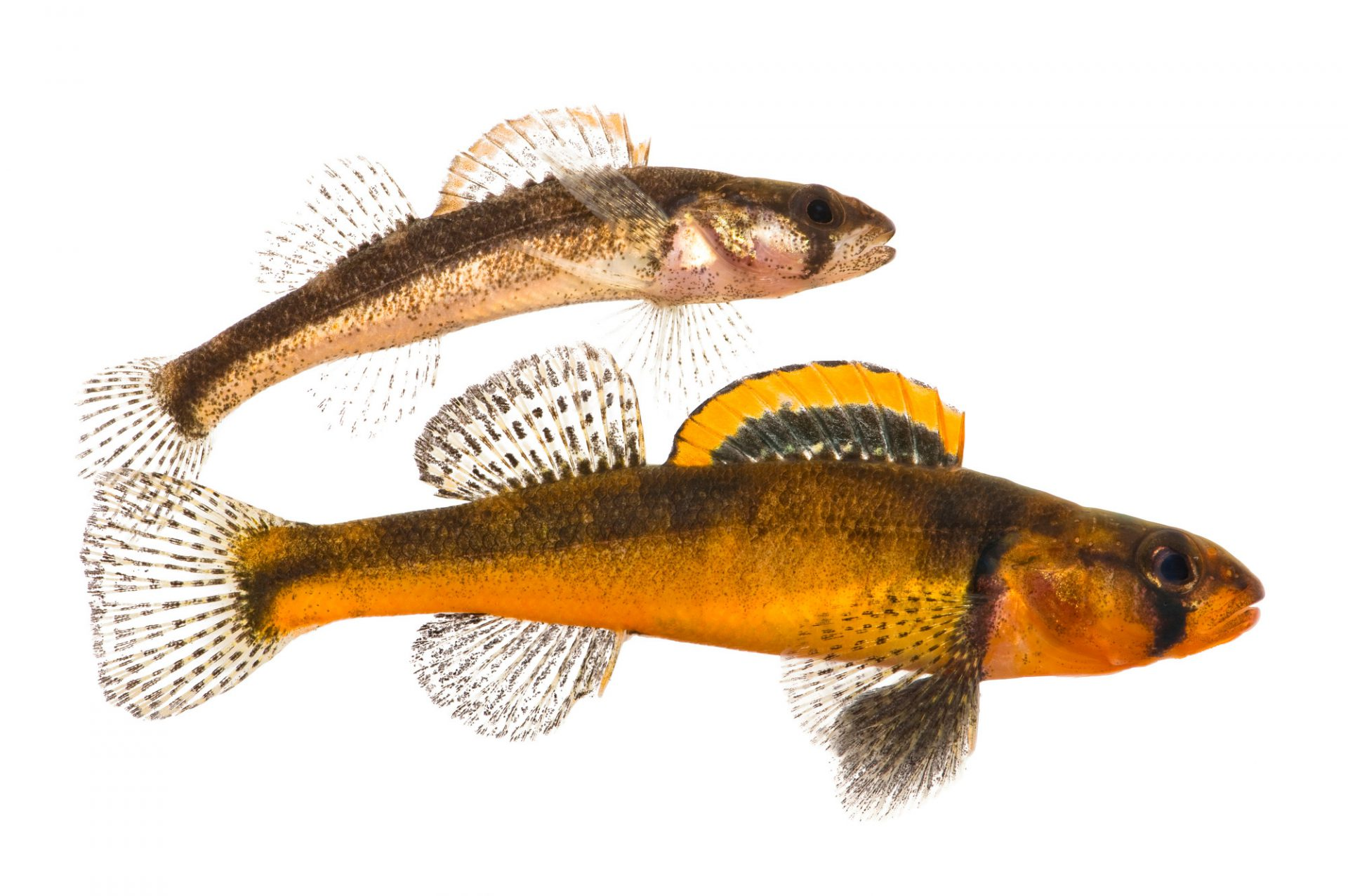 Slackwater darter (Etheostoma boschungi), an endangered (IUCN) and federally threatened species, at Conservation Fisheries, a native stream fish breeding center. The male is colorful and much larger than the female.