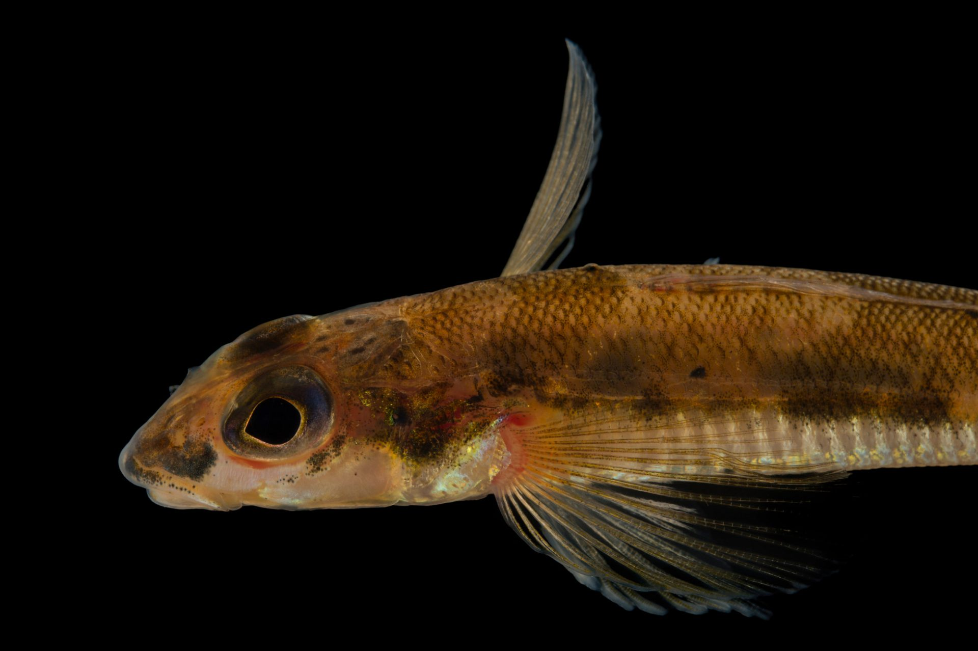 A critically endangered diamond darter (Crystallaria cincotta) at Conservation Fisheries.