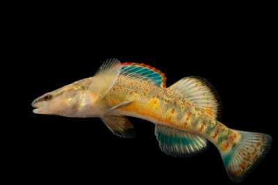 Picture of a Kentucky Arrow Darter (Etheostoma spilotum) at Conservation Fisheries.