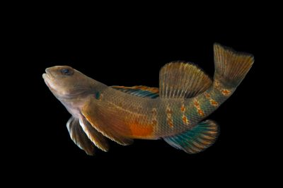 Photo: A male variegate darter (Etheostoma variatum) collected from Big Darby Creek near Circleville, OH.