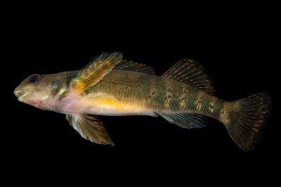 Photo: Female variegate darter (Etheostoma variatum) collected from Big Darby Creek near Circleville, OH.