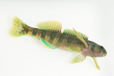 Photo: A male central greenside darter (Etheostoma blennioides pholidotum) collected from Big Darby Creek near Circleville, OH.