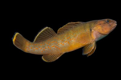 Photo: Bluebreast darter (Etheostoma camurum) collected from Big Darby Creek near Circleville, OH.