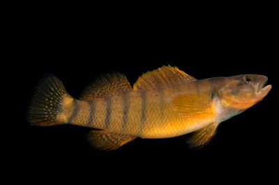 Photo: A male Tippecanoe darter (Etheostoma tippecanoe) collected from Big Darby Creek near Circleville, OH.