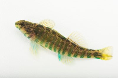 Photo: Banded darter (Etheostoma zonale) collected from Big Darby Creek near Circleville, OH.