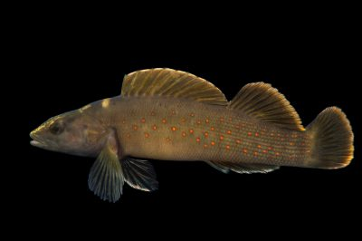 Spotted darter (Etheostoma maculatum) collected from Big Darby Creek near Circleville, OH.