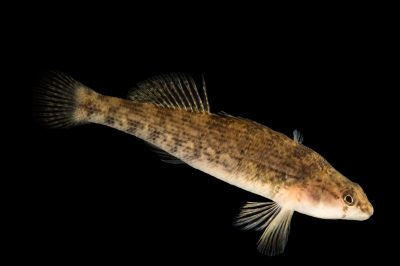Photo: Plateau orangethroat Darter (Etheostoma squamosum) at the Oklahoma City Zoo. This animal was collected in Lower Illinois River, Sequoyah County, Oklahoma.