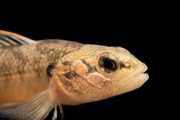 Photo: Barcheek darter (Etheostoma obeyense) at Conservation Fisheries.