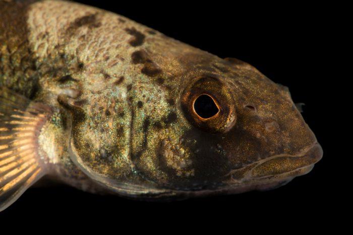 Photo: Snail darter (Percina tanasi) at Conservation Fisheries.