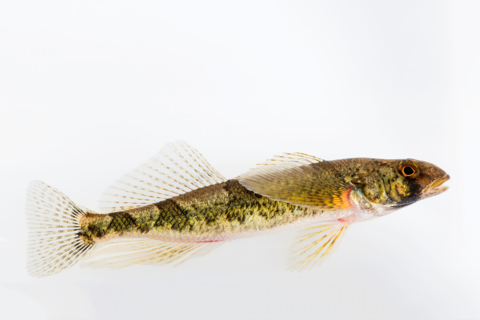 Photo: Snail darter (Percina tanasi) at Conservation Fisheries.