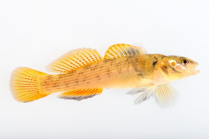 Photo: Buck darter (Etheostoma nebra) at Conservation Fisheries.