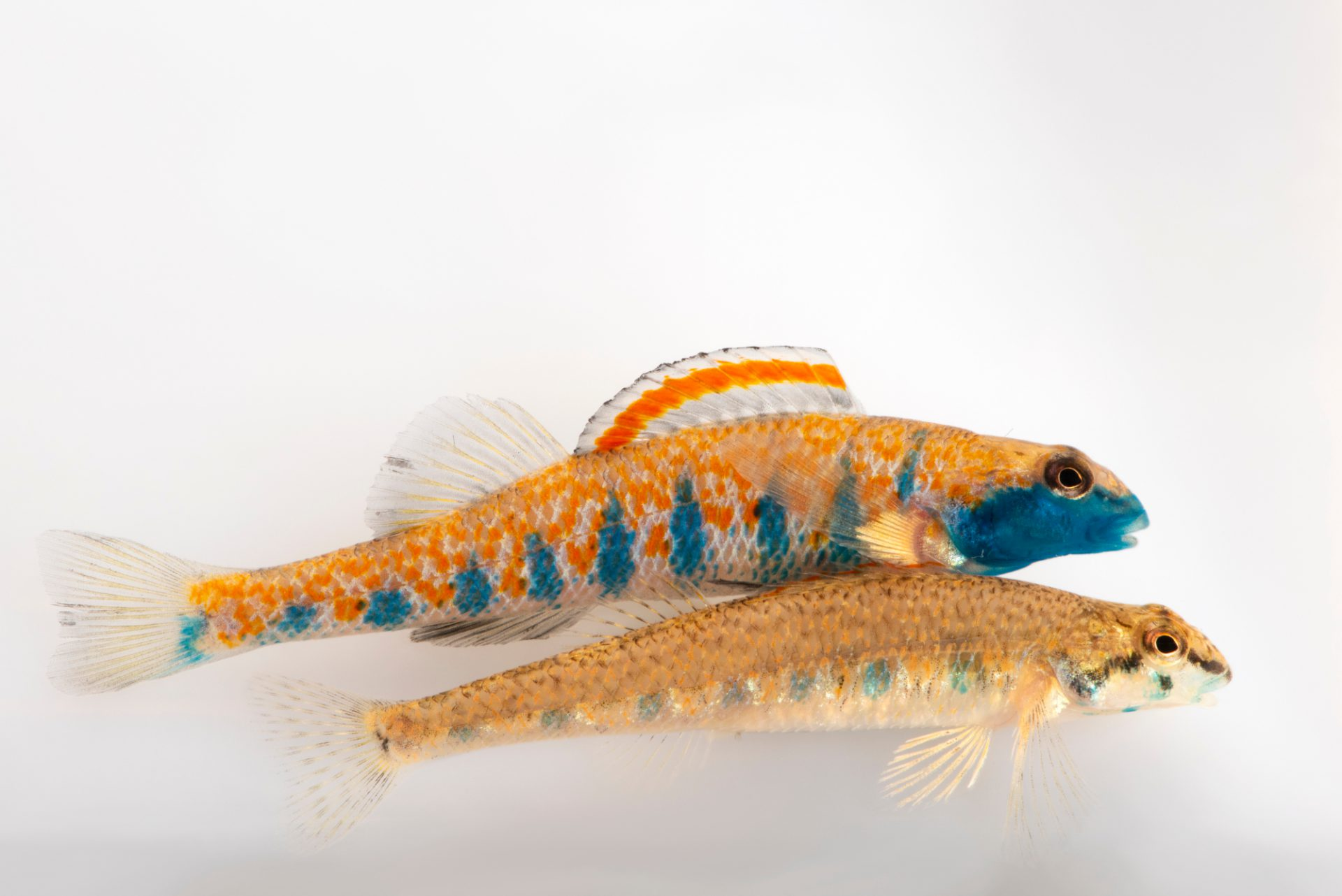 Photo: Endangered bluemask darters (Etheostoma akatulo) at Conservation Fisheries.
